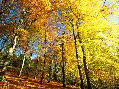 Trees Covered in Yellow Autumn Leaves, Jasmund National Park, Island of Ruegen, Germany