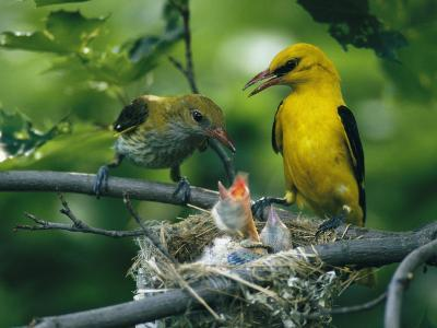 Golden Orioles Feeding Their Nest of Hungry Chicks