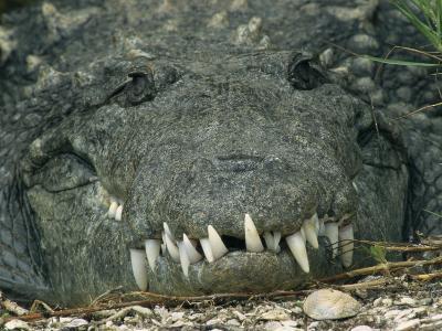 Close View of the Teeth of an American Crocodile
