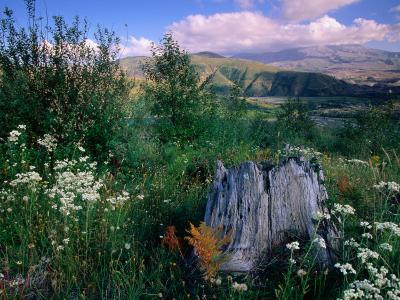 Wildflowers on the Coldwater Ridge Trail in Mt. St. Helens National Volcanic Monument, USA