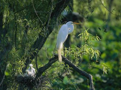 A Great, or Common, Egret on a Branch Near Her Nest and Chicks