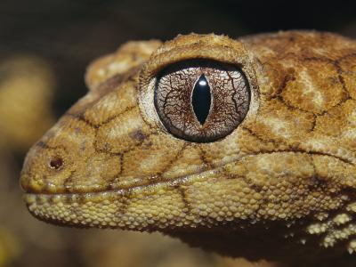 Close View of the Head of a Rough Knob-Tail Gecko