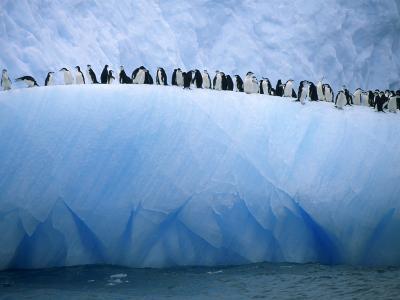 Chin Strap Penguins Cluster Together on an Iceberg
