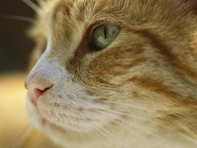 A Close View of the Profile of a Domestic Cat