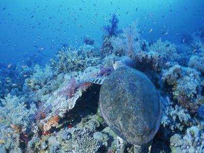 A Turtle Swims over the Coral Reefs with Marine Life in the Red Sea