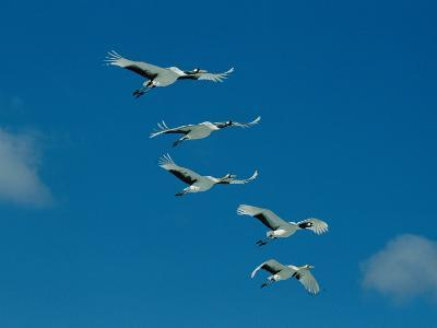 A Group of Japanese or Red Crowned Cranes in Flight