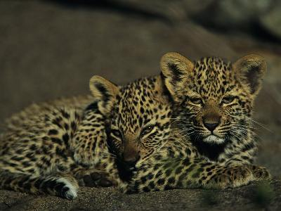 Two Sleepy Four-Month-Old Leopard Cubs Huddled Together
