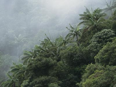 Foggy Rain Forest with Palm Trees on a Taveuni Island Hillside
