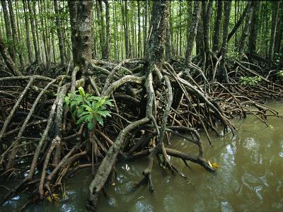 Detail of Mangrove Roots at the Waters Edge