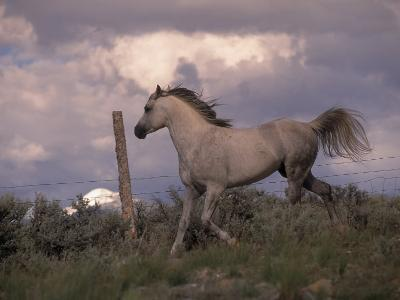 White Horse Trotting Along Barbed Wire Fence