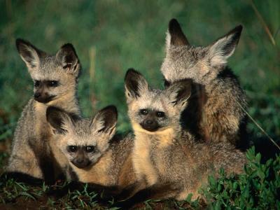 Bat-Eared Fox Pups (Octocyon Megalotis) in Their Den, Serengeti National Park, Tanzania