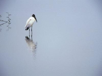 A Lone Wood Stork, Stalking in the Shallows, Playa Esterillos, Puntarenas, Costa Rica