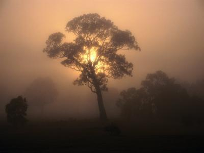 Trees in Fog at Wannon, Australia