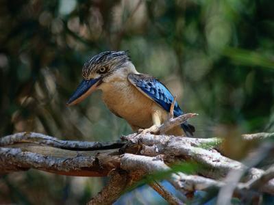 Blue Winged Kookaburra (Decelo Leachii), Kakadu National Park, Australia