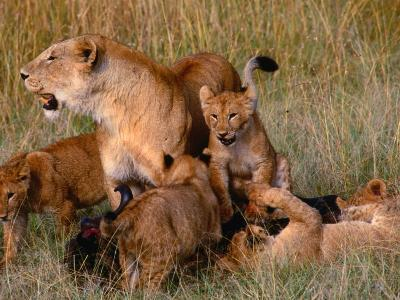 Lioness with Five Cubs on Dead Wildebeest, Masai Mara National Reserve, Rift Valley, Kenya