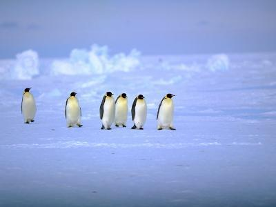Emperor Penguins (Aptenodytes Forsteri) Crossing Ice, Weddell Sea, Antarctica