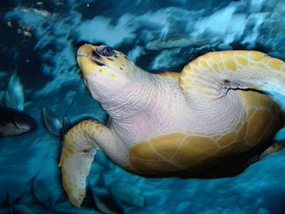 Turtle Underwater, Australia