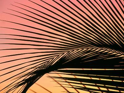 Coconut Leaf at Sunset, Kohala Coast, USA