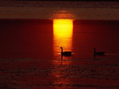 Silhouetted Canada Geese at Twilight