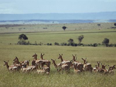Wary Antelope Survey the African Savanna