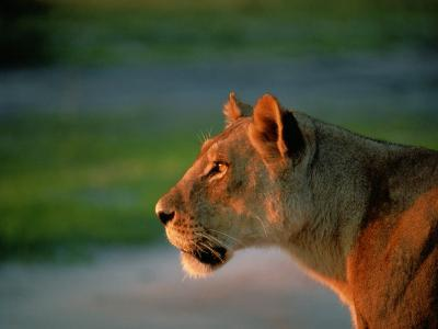 A Lioness Attentively Watching a Herd of Zebras