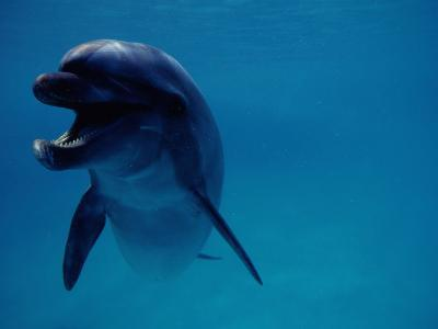 A Bottlenose Dolphin Swims in the Aquarium at Sea Life Park