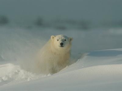 A Close View of a Polar Bear (Ursus Maritimus) Partially Buried in the Snow