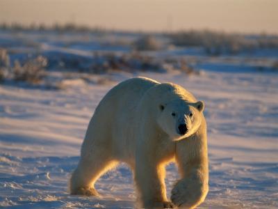 A Polar Bear (Ursus Maritimus) Walks Across the Snowy Plain