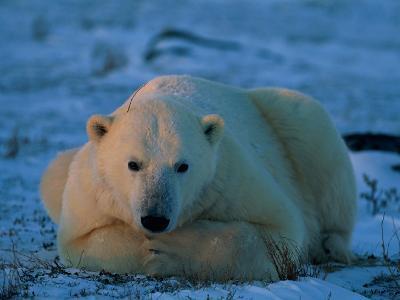 An Adult Polar Bear (Ursus Marititmus) at Ease