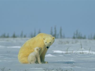 A Female Polar Bear Looks Affectionately Toward Her Cub