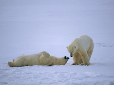 A Polar Bear Lies Down for a Rest While His Companion Walks Over