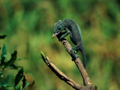 Chameleon Hunting an Insect