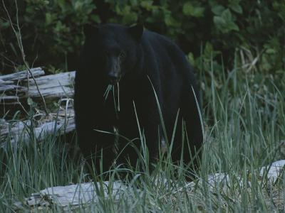 A Close View of a Black Bear Standing in Tall Grasses Near a Log