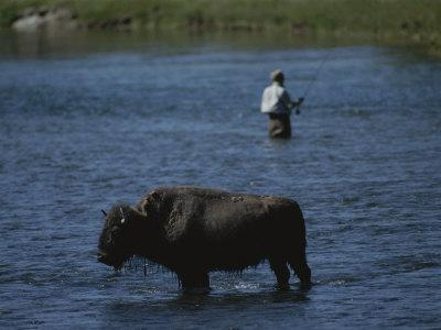 A Fisherman and Buffalo Share Water Space in the Yellowstone River