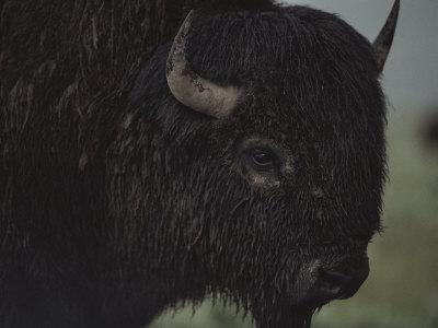 A Close View of an American Bison Wet with Rain
