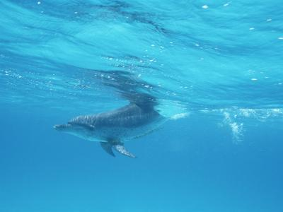 A Spotted Dolphin in the Waters off the Coast of Grand Turk Island