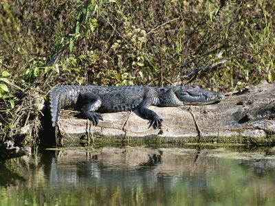 Alligator Basking on Tree Trunk, Belize