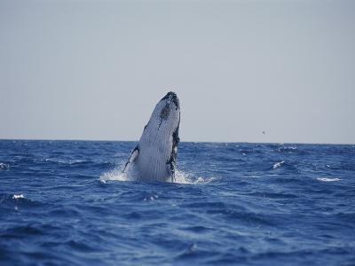 A Humpback Whale Calf Breaches