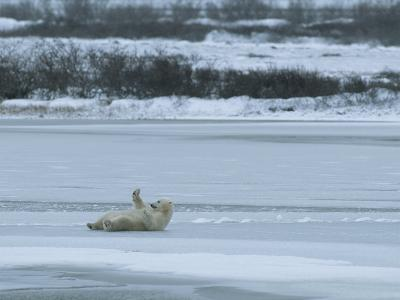 A Polar Bear Rolls on its Back on Ice and Seems to Wave a Greeting