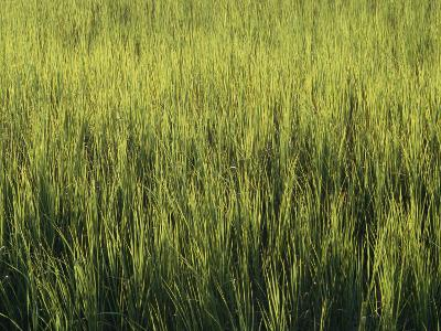 A Lush Patch of Aquatic Grasses in a Marsh
