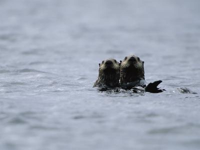 A Pair of Sea Otters Floating in the Waters off Adak Island