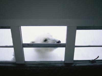 A Polar Bear Peeks in the Window of an All Terrain Vehicle