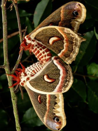 Mating Cecropia Moths