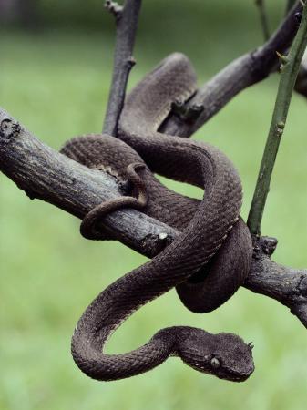 A Bocaraca Viper on a Twig