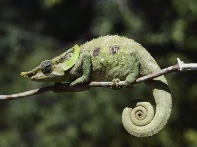 Close View of a Chameleon