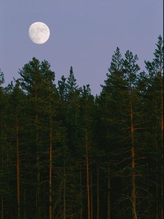 A Huge Moon Rises over an Evergreen Forest