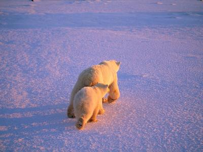 A Mother Polar Bear Walks Across a Windswept Snowfield with Her Cub
