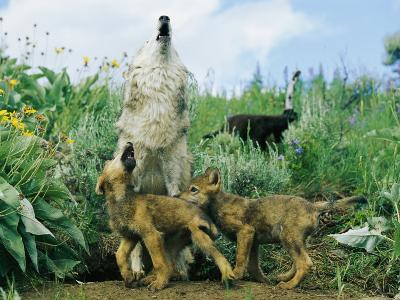 A Gray Wolf Teaches Her Young Pups to Howl