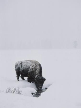 A American Bison Finds a Spot for a Drink in the Middle of the Snow-Covered Terrain