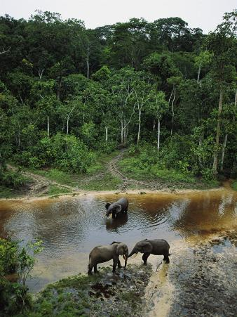 Three Male Forest Elephants Quench Their Thirst in the Modoubou River